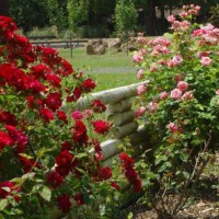 Photo Thumbnail #21: Rose bed in front yard