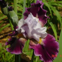 Photo Thumbnail #19: Another iris blooming in terraced beds by the lake