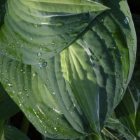 Photo Thumbnail #12: Spilt Milk hosta