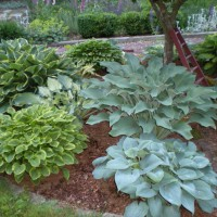 Photo Thumbnail #11: Hosta garden under crabapple tree