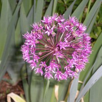 Photo Thumbnail #27: Allium