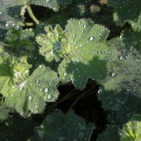 Photo Thumbnail #2: Lady's Mantle