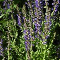 Photo Thumbnail #6: Blue Hills Salvia