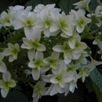 Photo Thumbnail #4: Oakleaf Hydrangea