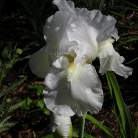 Photo Thumbnail #13: Immortality reblooming iris