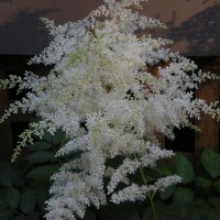 Photo Thumbnail #14: White astilbe