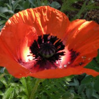 Photo Thumbnail #21: Oriental Poppy