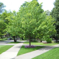 Photo Thumbnail #4: There was a beautiful sprawling maple tree that...