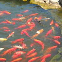 Photo Thumbnail #6: Our fish in the 1800 gallon, hand-dug water...