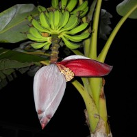 Photo Thumbnail #1: Banana's and pod