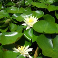 Photo Thumbnail #7: Some water lilies...