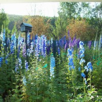 Photo Thumbnail #27: Our delphinium bed..i once grew one 10 foot 2...