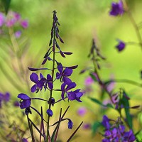 Photo Thumbnail #13: Fireweed