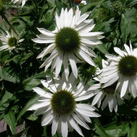 Photo Thumbnail #9: White coneflowers