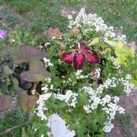 Photo Thumbnail #5: One of many of my planters- containing a black...