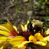 Photo Thumbnail #11: saw this bee & had to take a pic of it on the...