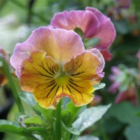 Photo Thumbnail #18: Perennial Viola's
