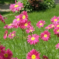 Photo Thumbnail #1: Painted Daisys & a small Hosta garden in the...