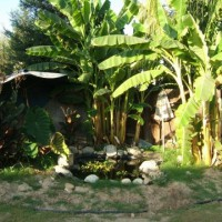 Photo Thumbnail #3: Pond in the corner with banana trees in the back
