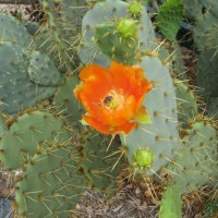 Photo Thumbnail #2: An orange colored prickly pear cactus.