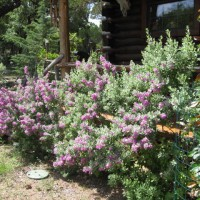 Photo Thumbnail #16: Purple Sage.