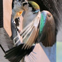 Photo Thumbnail #13: Male Tree Swallow