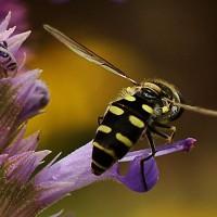 Photo Thumbnail #5: Hover Fly