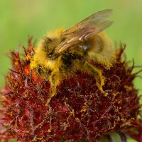 Photo Thumbnail #23: Pollen loaded