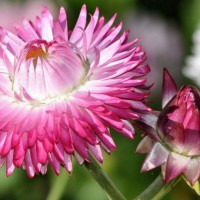 Photo Thumbnail #16: Strawflower