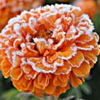 Photo Thumbnail #6: Frost on Marigolds