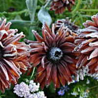 Photo Thumbnail #3: Frost on the Rudbeka