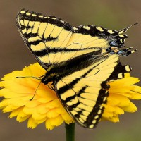 Photo Thumbnail #25: SwallowTail