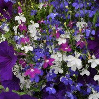 Photo Thumbnail #17: petunia ,lobelia