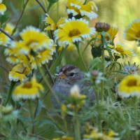 Photo Thumbnail #20: White Crown Sparrow
