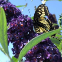 Photo Thumbnail #5: Butterfly on my butterfly plant in the front yard