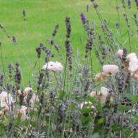 Photo Thumbnail #20: roses with lavande, wonderful creation