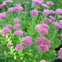Photo Thumbnail #18: Sedum 'Autumn Joy'