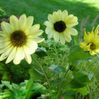 Photo Thumbnail #17: Miniature sunflowers