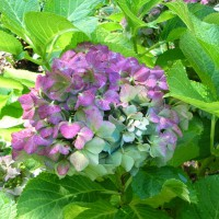 Photo Thumbnail #14: 'Nikko Blue' hydrangea wearing its fall colors...