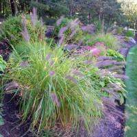 Photo Thumbnail #5: Fountain grass . . .
