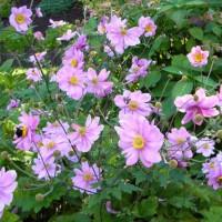 Photo Thumbnail #15: Japanese anemone
