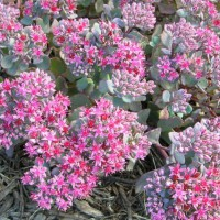 Photo Thumbnail #13: Sedum 'Vera Jameson'