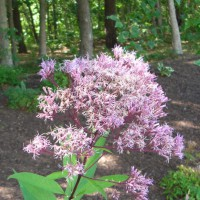 Photo Thumbnail #19: Joe Pye Weed
