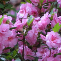 Photo Thumbnail #4: woodland garden azalea