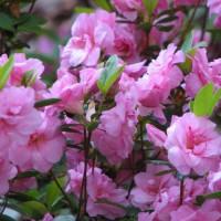 Photo Thumbnail #4: woodland garden azalea