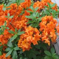 Photo Thumbnail #3: garabaldi azalea in side woodland garden
