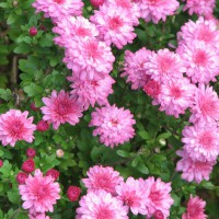 Photo Thumbnail #1: summer mums