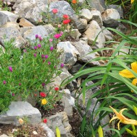 Photo Thumbnail #5: daylilies in ditch