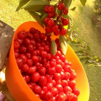 Photo Thumbnail #5: Bountiful crop of bing cherries! My 12 year old...