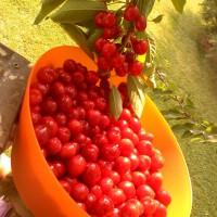 Photo Thumbnail #5: Bountiful crop of bing cherries! My 12 year old...